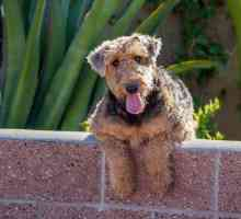 Nomi di cane terrier Airedale