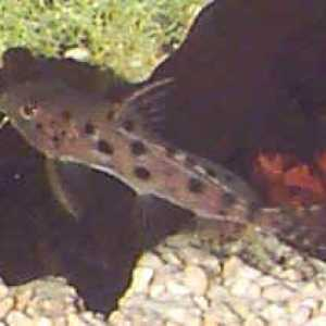 Synodontis ocellated
